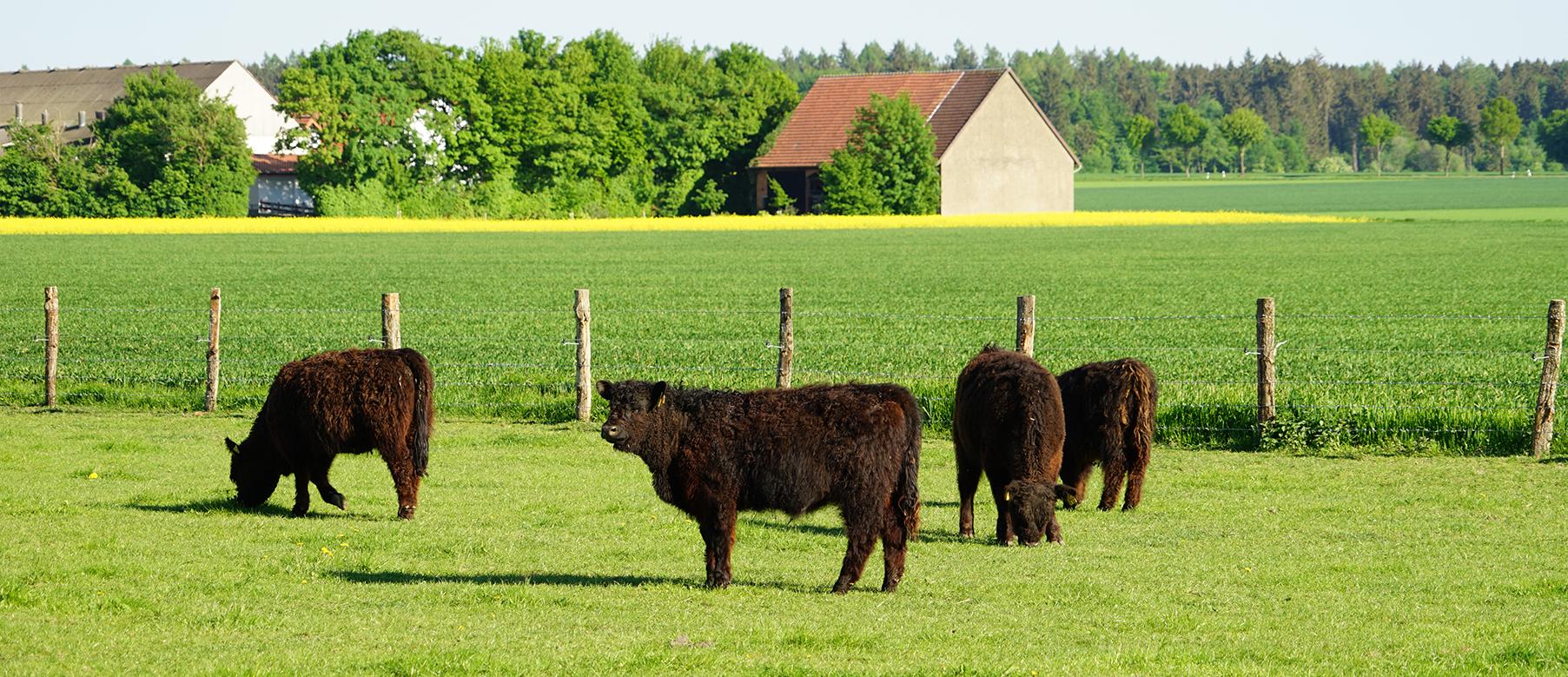 Galloways auf der Weide