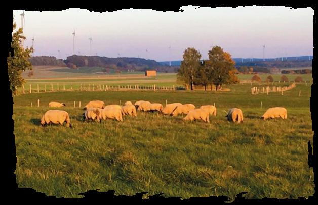 Newsbild zu Schafen