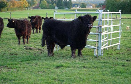 Galloway Herde und Bulle vom Hof Finke