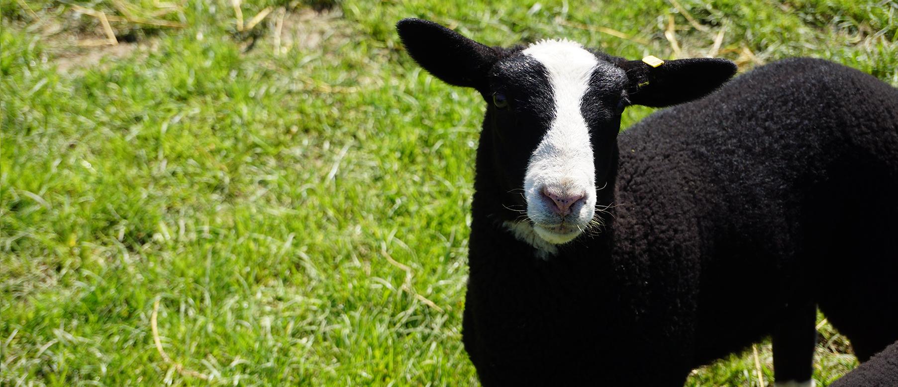 Schaf vom Hof Finke