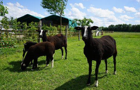 Schafe im Grünen auf dem Hof Finke