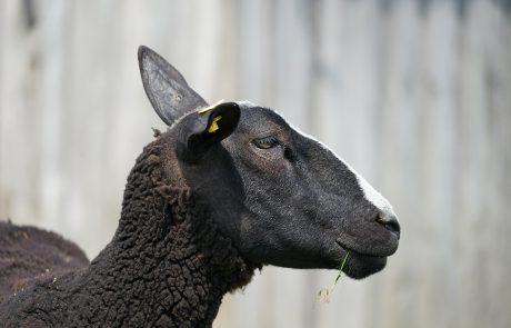 Seitenansicht vom Schafkopf Zwartbles